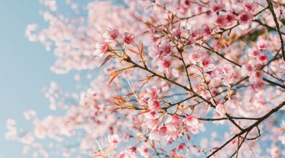 Pink cherry blossom flower